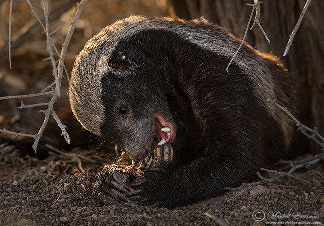 Honey badger by Morkel Erasmus