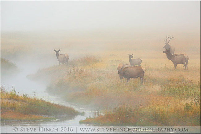 Elk by Steve Hinch