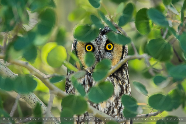 Long-eared owl by Zack Clothier