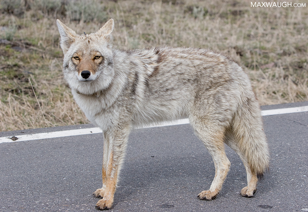 Animal Identification Throwdown: Gray Wolf vs. Coyote ...