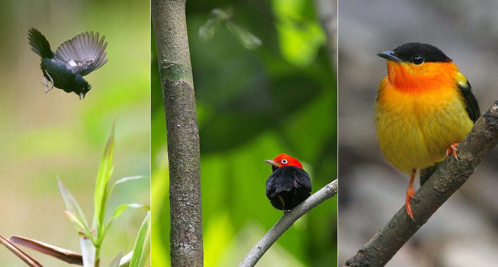 Blue-black grassquit and Manakins
