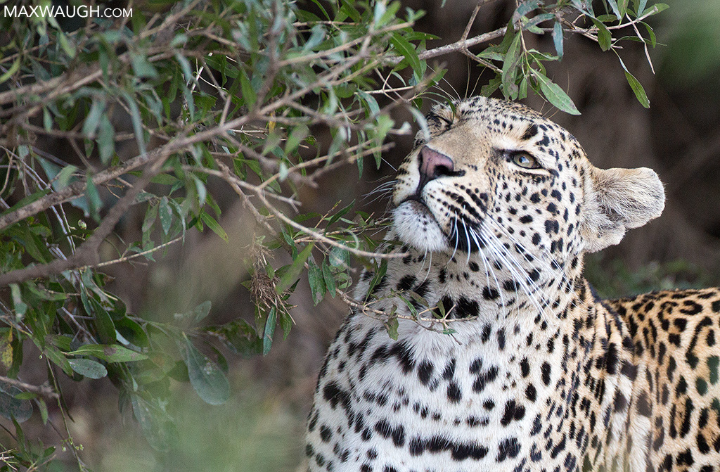 Leopard scent marking