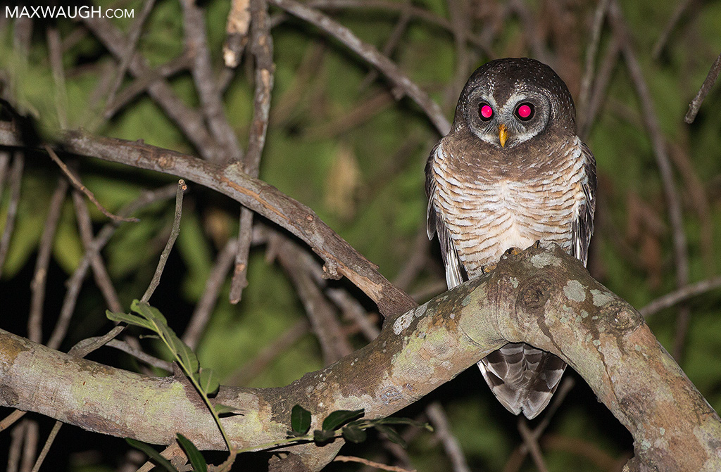 African wood owl