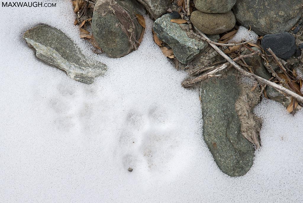 Snow Leopard Tracks