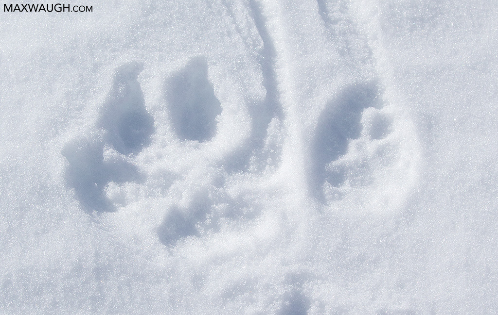 Wolf and coyote tracks
