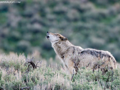 Animal Identification Throwdown: Gray Wolf vs. Coyote