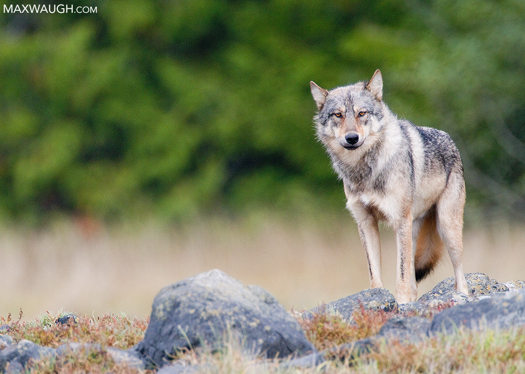 Coastal gray wolf