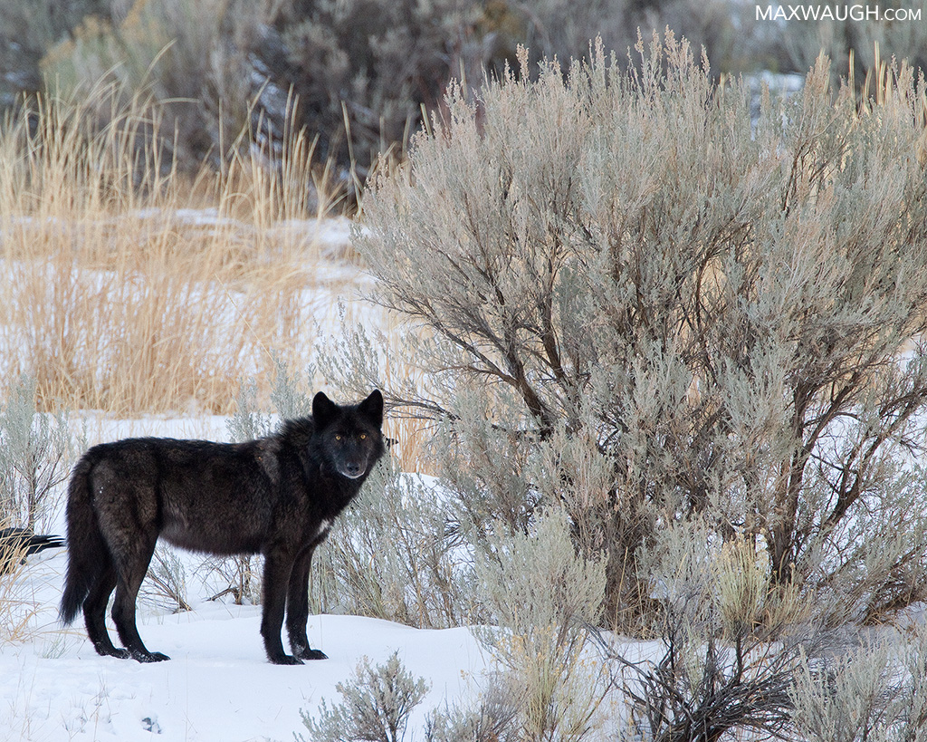 Animal Identification Throwdown: Gray Wolf vs. Coyote | Max Waugh