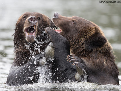 Grizzly Bear (Play) Fight!