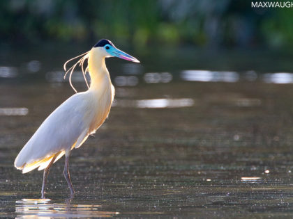 Herons: Tall, Elegant… With a Hint of Danger