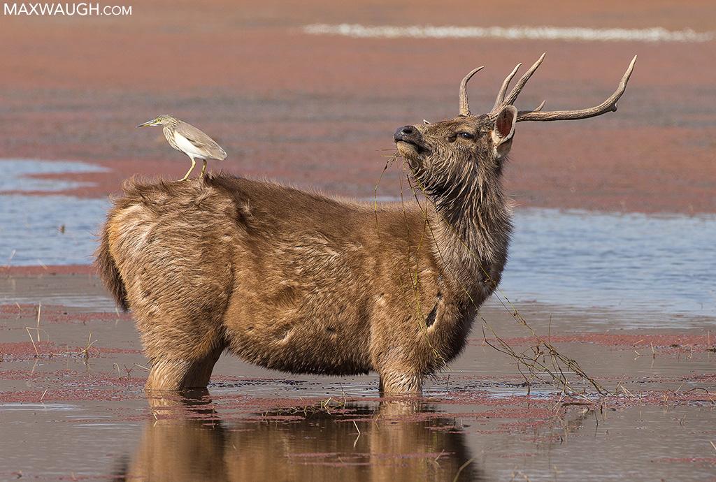 Pond heron riding sambar deer