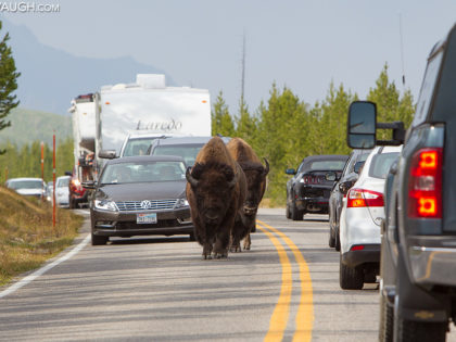 Yellowstone Bison Jam: How to Deal With Buffalo on the Road