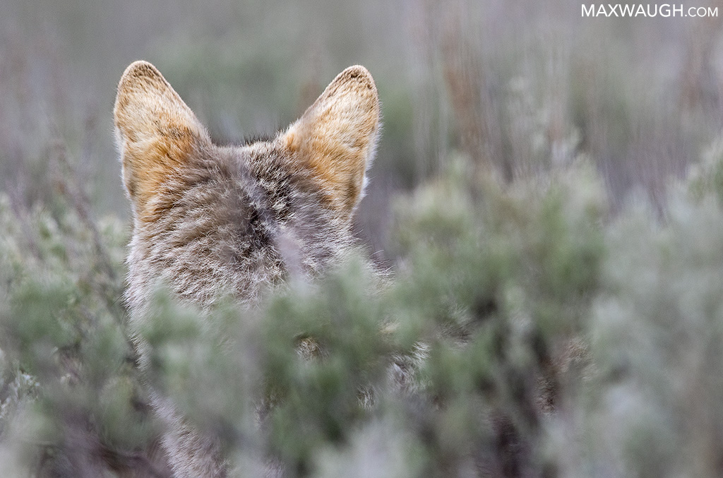 Coyote listening