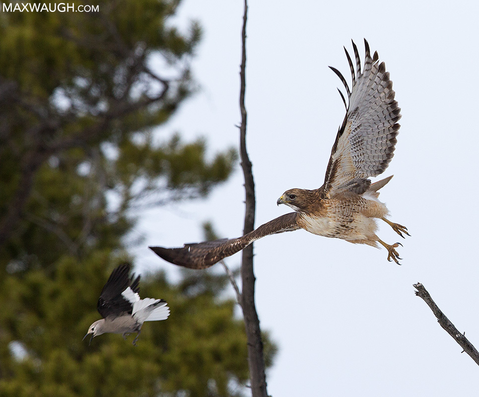 Red-tailed hawk and Clark's nutcracker