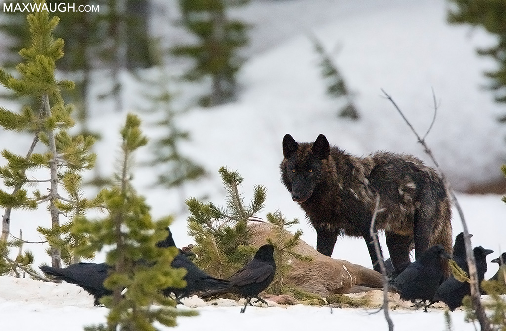 Black Canyon Pack wolf