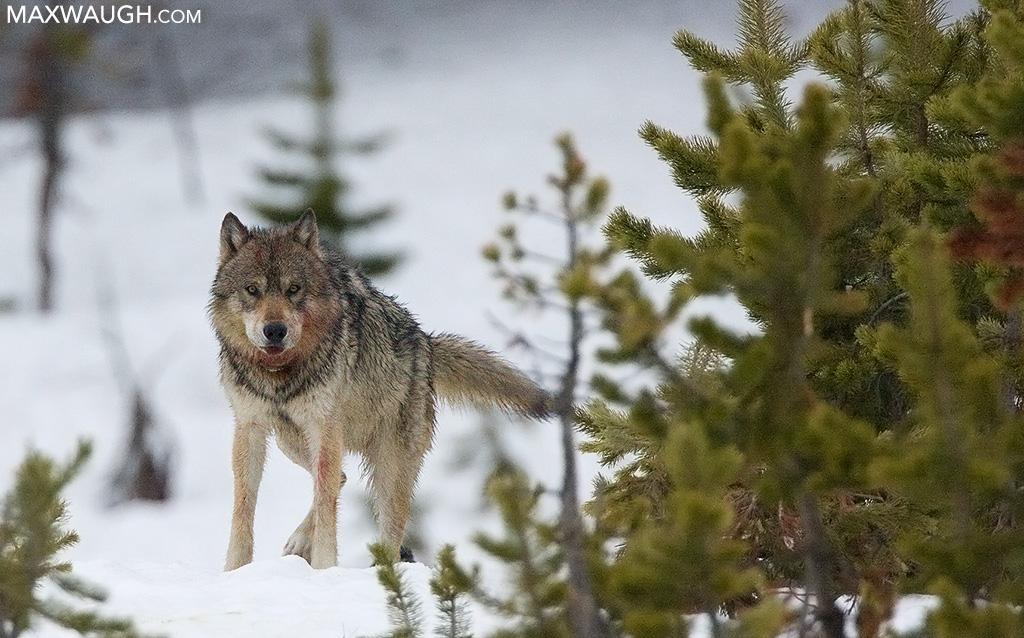 Canyon wolf 587M