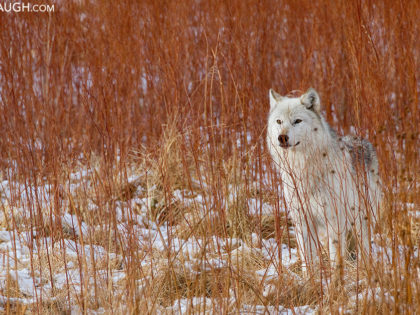 The White Wolf: Remembering the Canyon Alpha Female