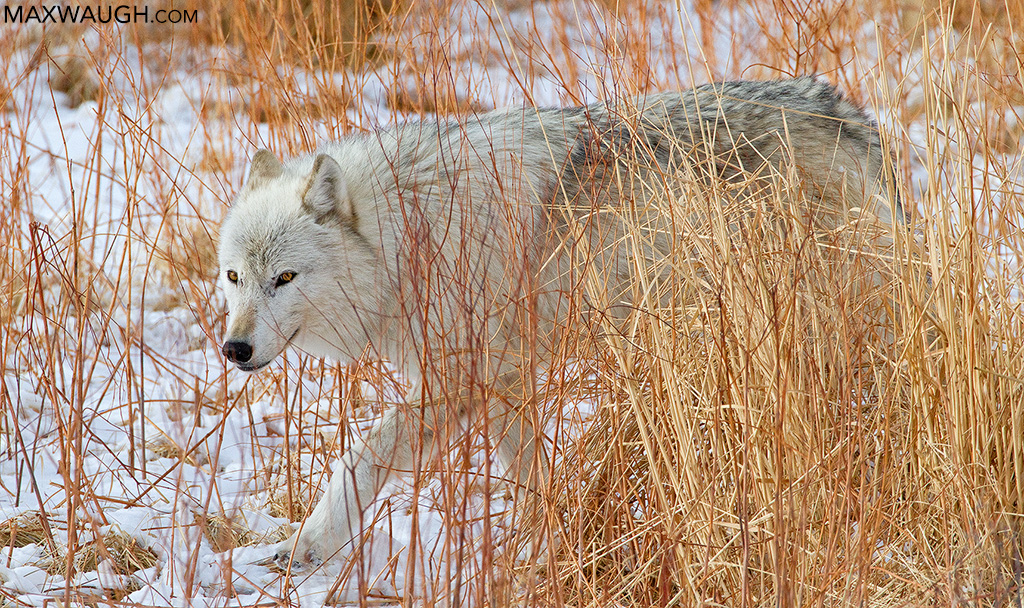 Canyon Pack alpha female white wolf