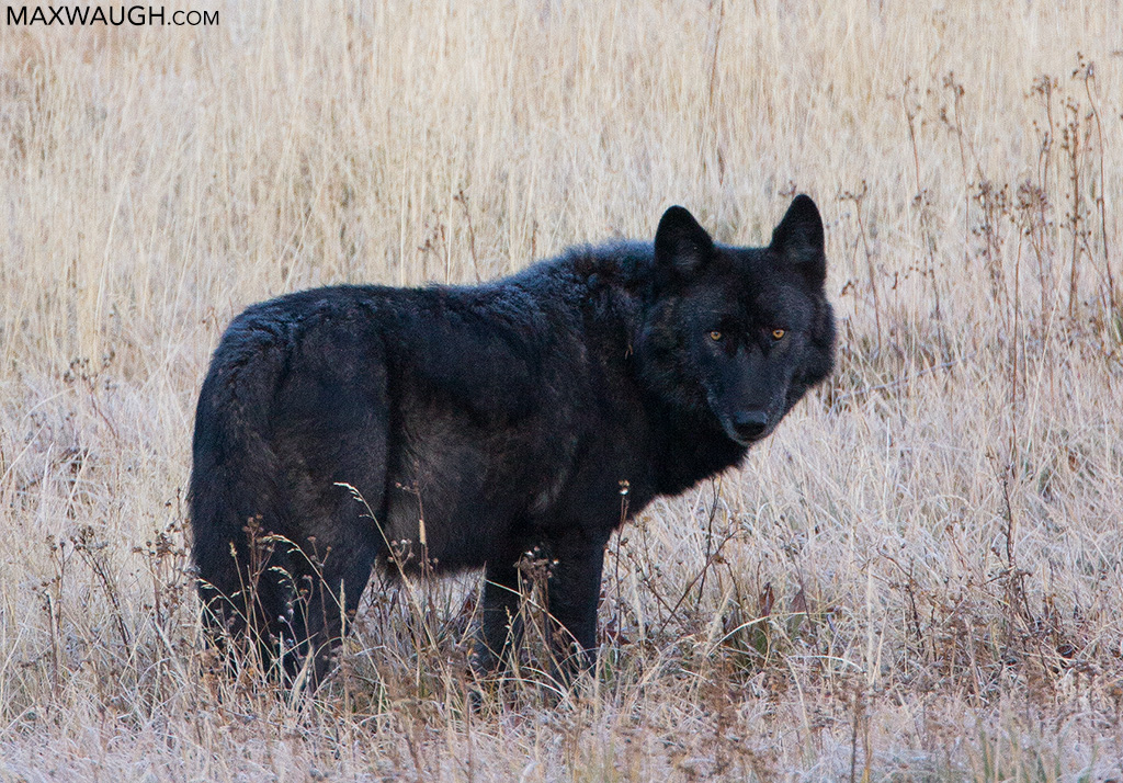 Canyon Pack alpha male black wolf