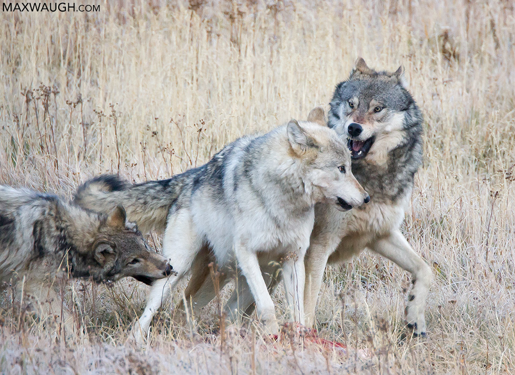 Canyon Pack wolves