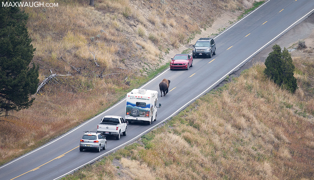 Bison in road