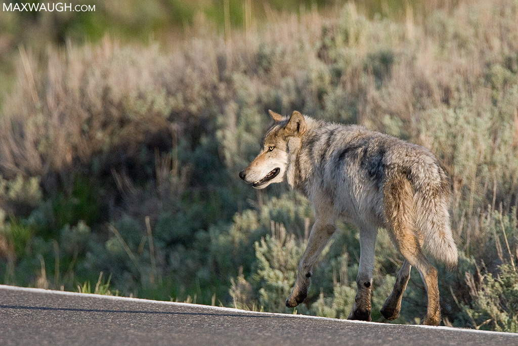 Slough Creek Pack alpha male wolf