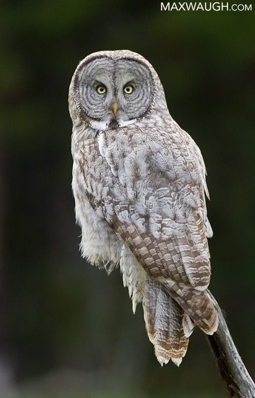 Great Gray Owl: The Ghost of the Forest | Max Waugh