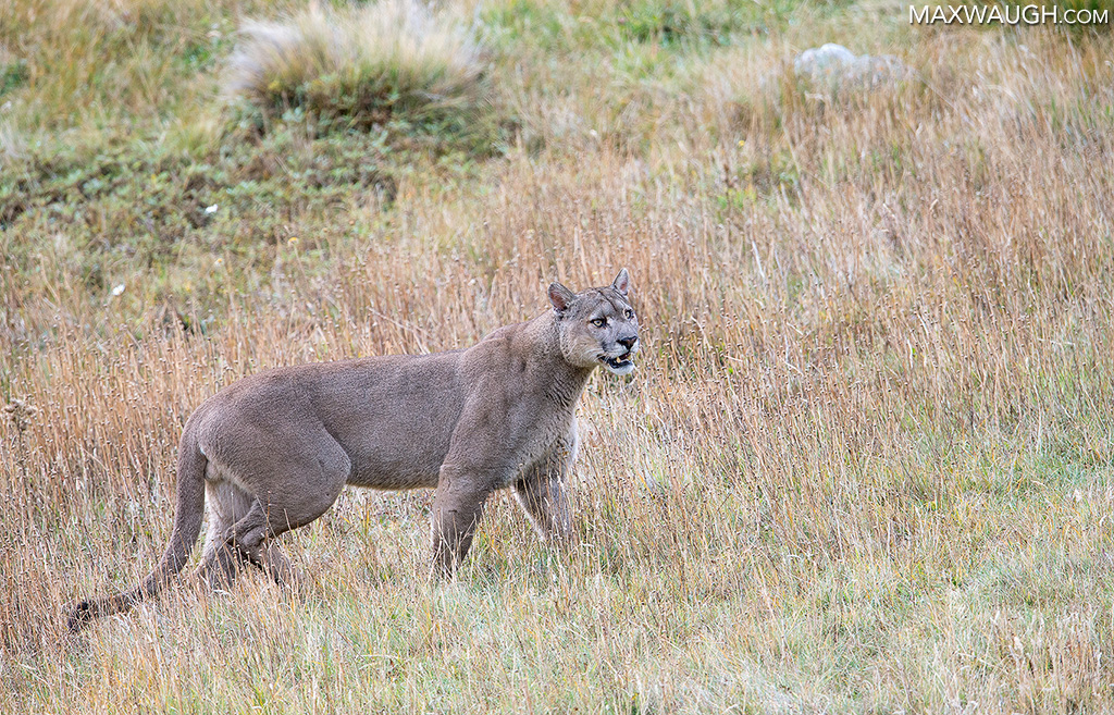 Dark Male Puma