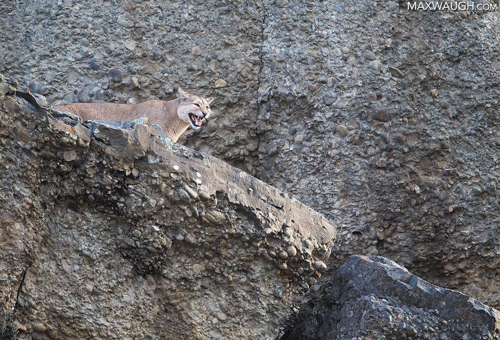 Female Puma in Heat