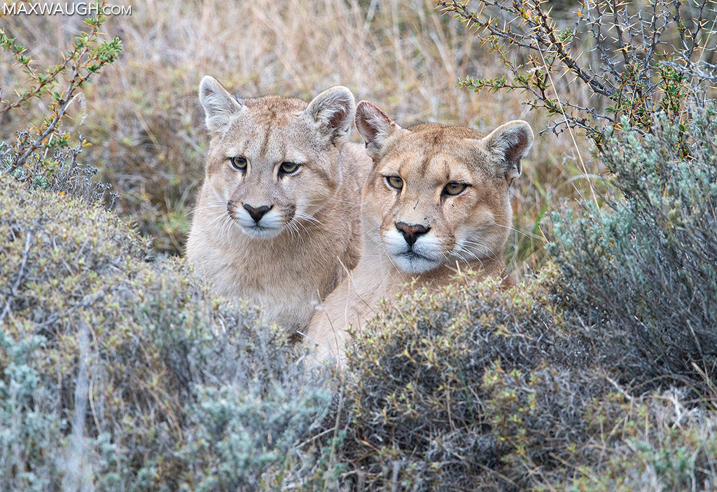 Puma Mother and Cub