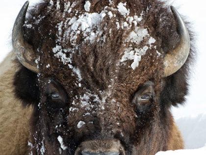 2018 Yellowstone Calendar