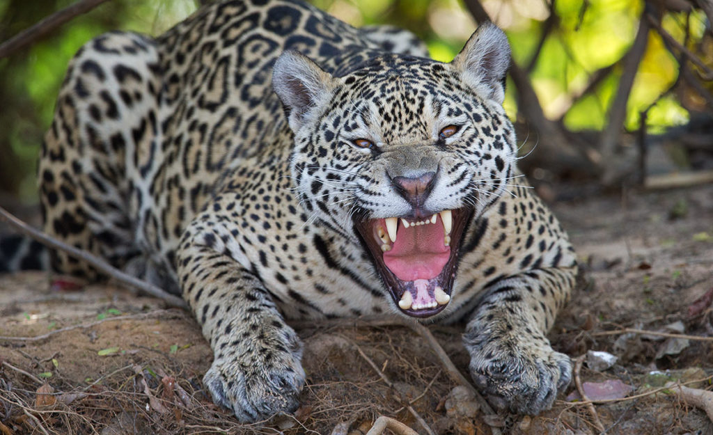 brazil jaguar photo tour featuring jaguars and other wildlife max waugh. Black Bedroom Furniture Sets. Home Design Ideas