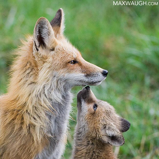 2018 red fox calendar