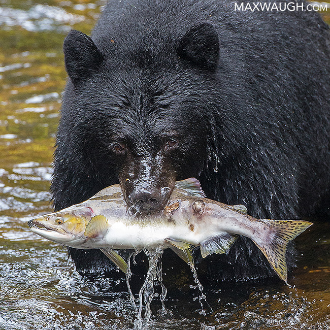 Great Bear Rainforest calendar
