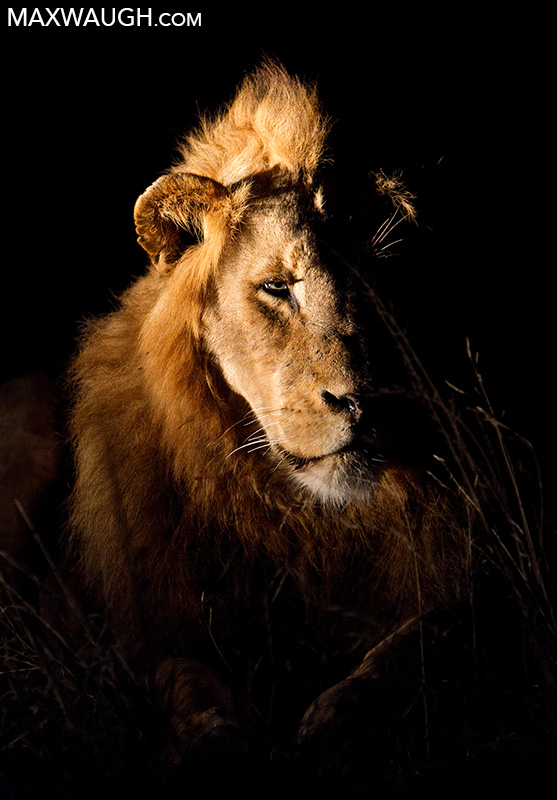 African lion at night