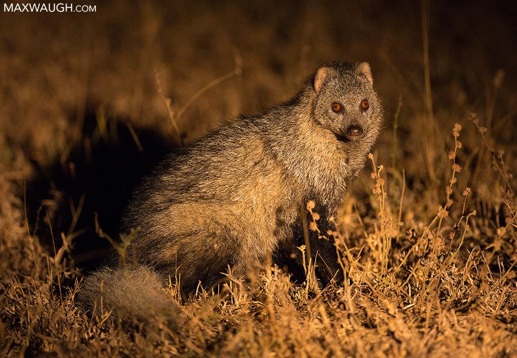 White-tailed mongoose