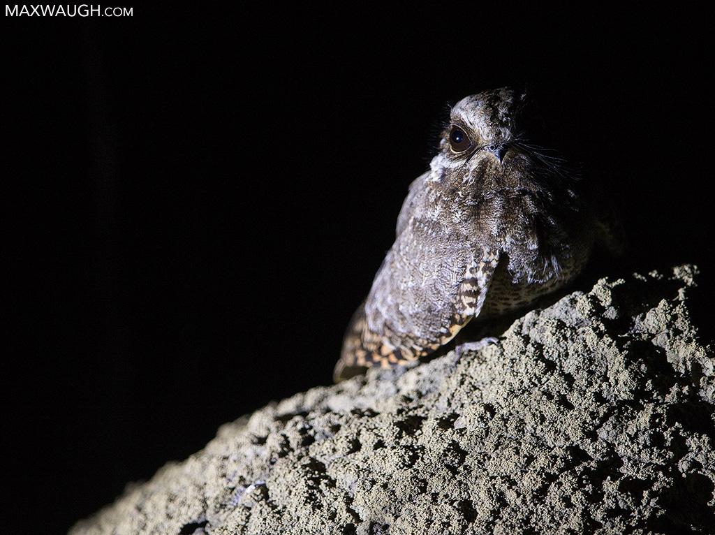 White-Winged Nightjar