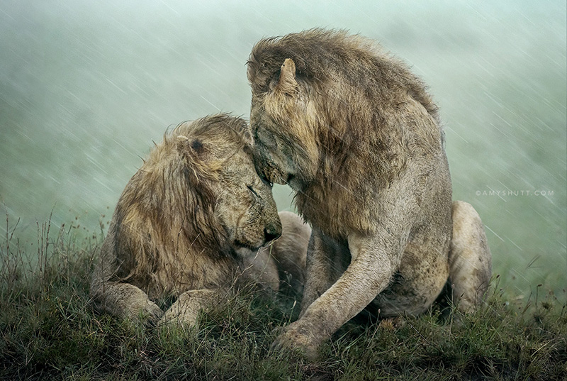 Lion brothers in rain by Amy Shutt