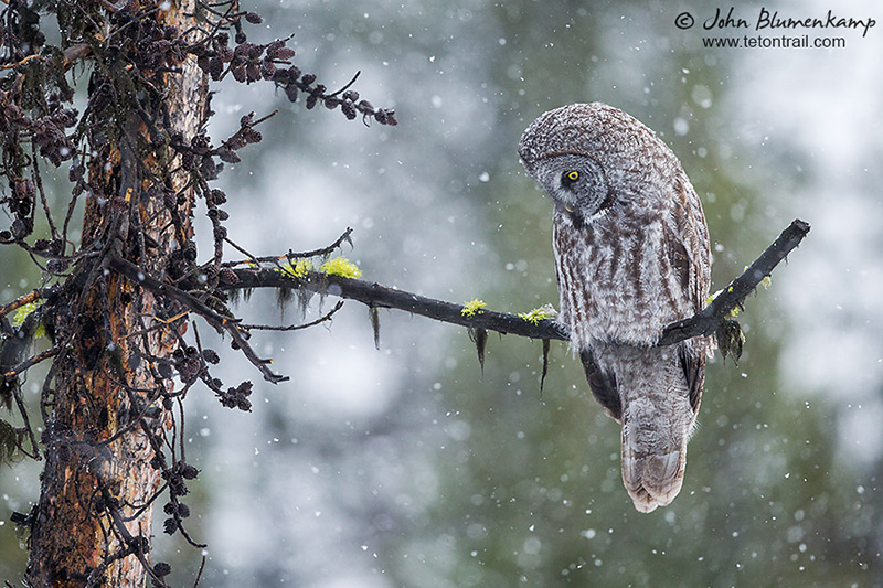 Great Gray Owl by John Blumenkamp
