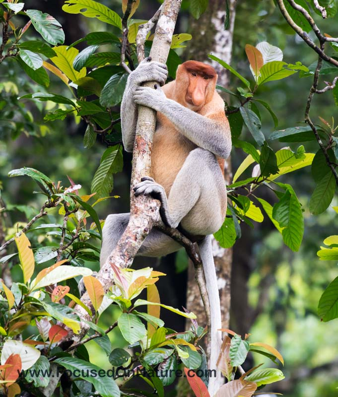 Proboscis Monkey by Alan Dahl