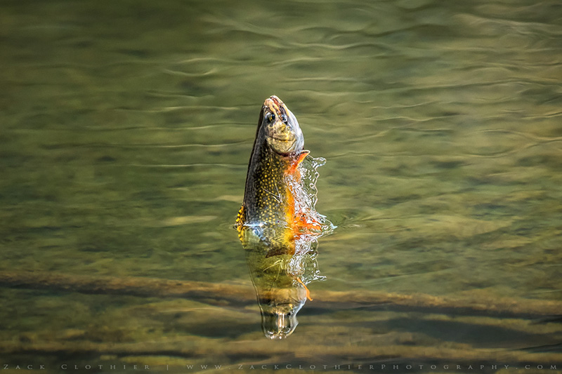 Jumping trout by Zack Clothier