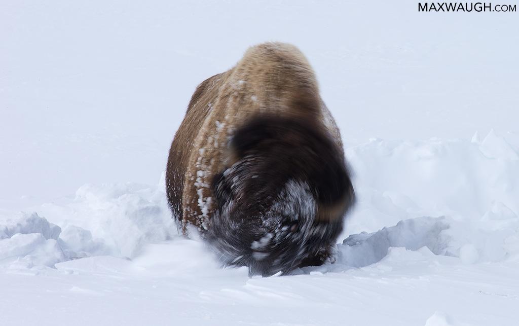 Bison shoveling snow