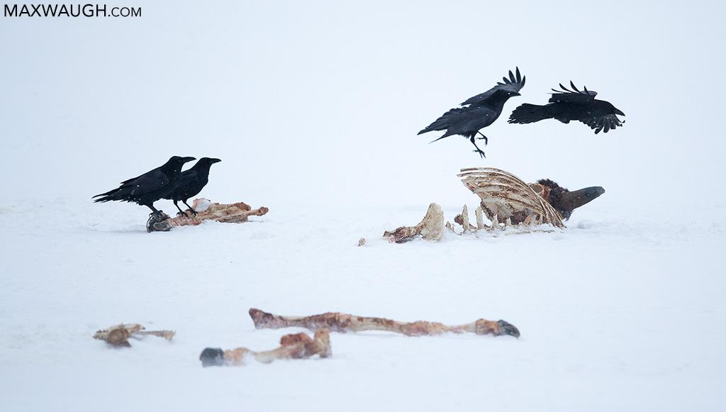Ravens on carcass