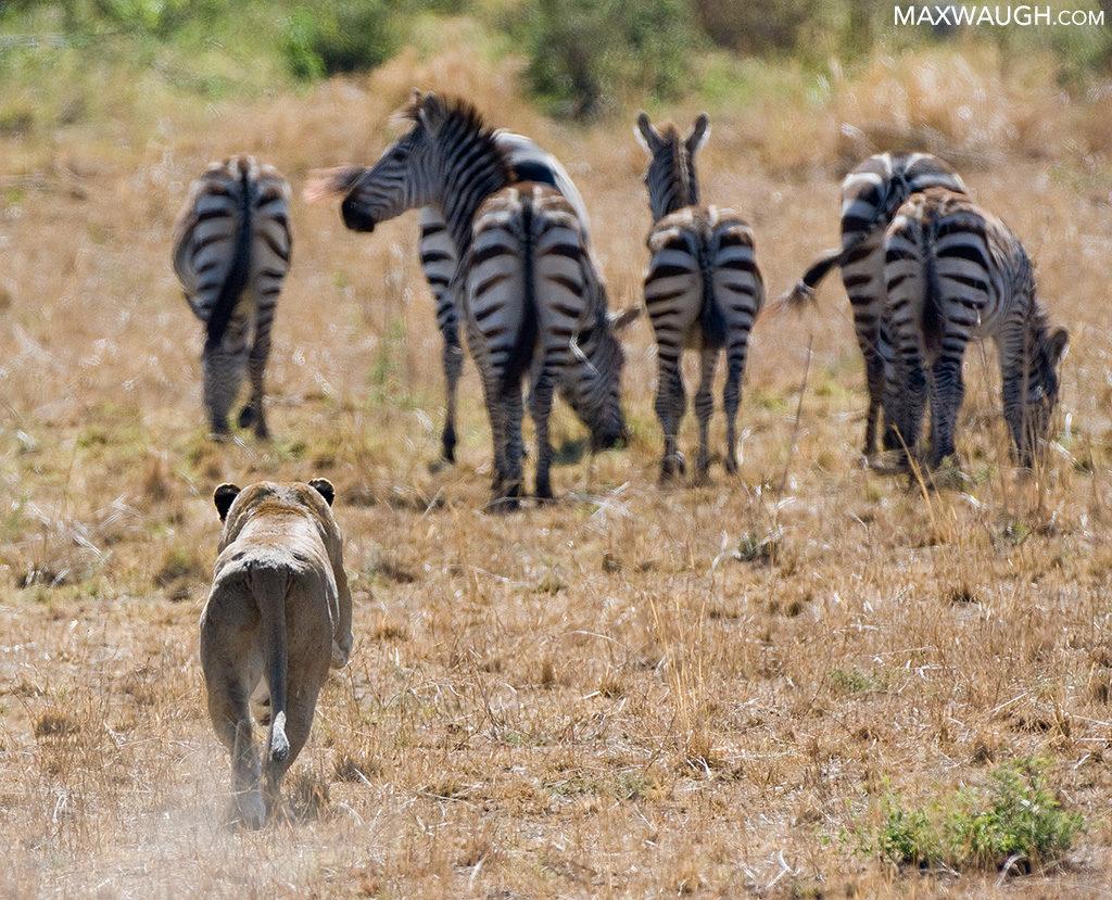Lion hunting zebras