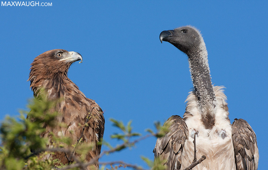White-backed vulture and Steppe eagle