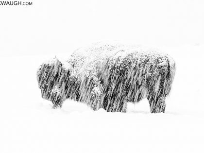 Wildlife Photographer of the Year: Thoughts On A Bison in a Snowstorm