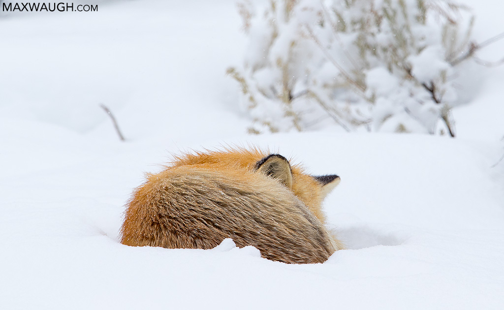 Red fox napping
