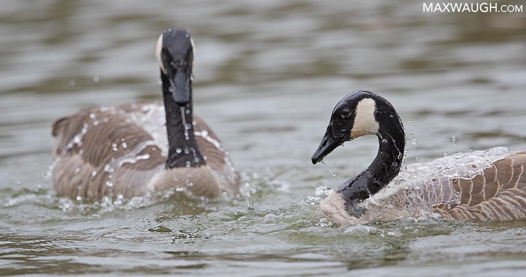 Canada Goose Courtship
