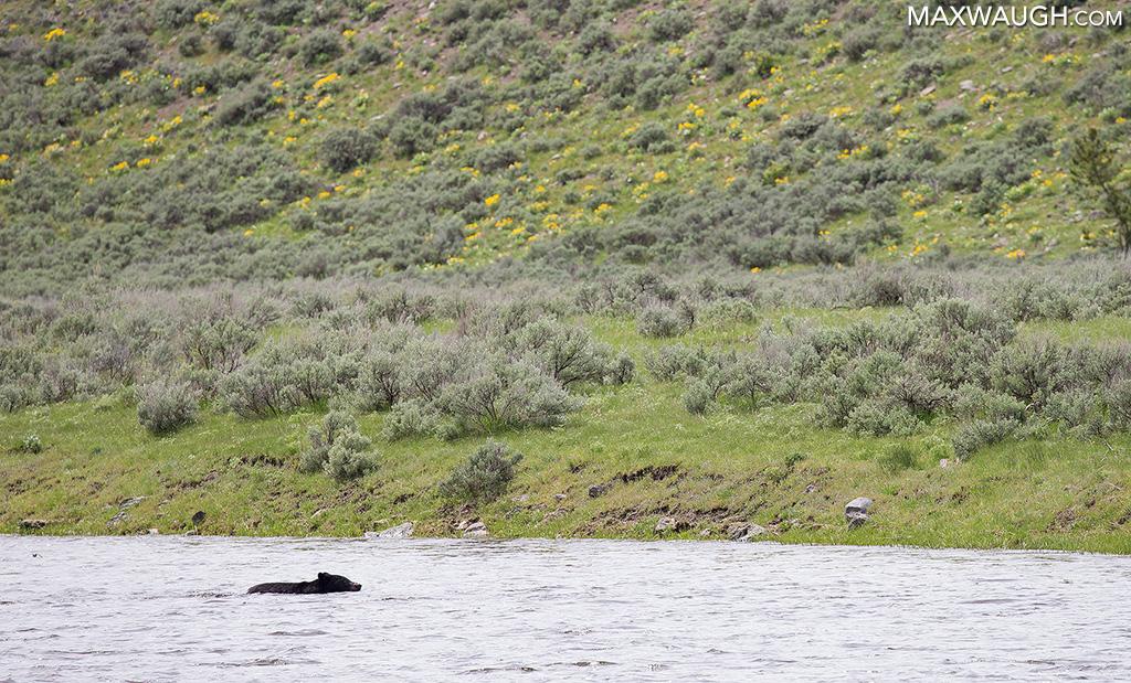 Swimming black bear