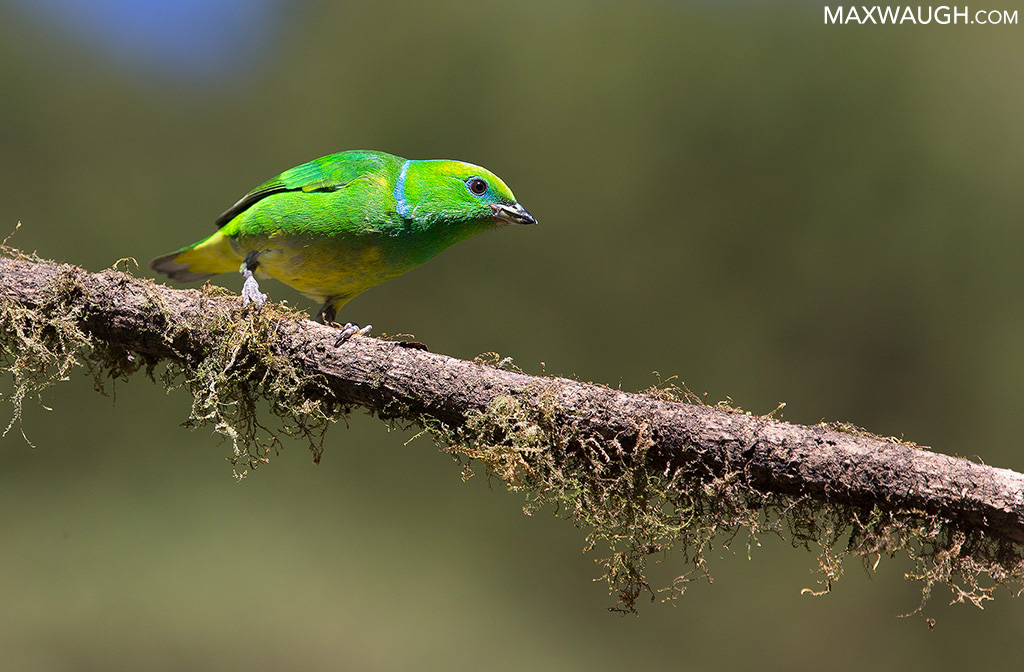 Golden-Browed Chlorophonia